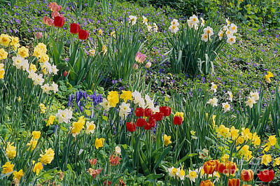 Poster featuring the photograph Spring Bulb Garden by Alan L Graham
