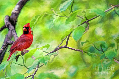 Spring Cardinal Poster by Darren Fisher