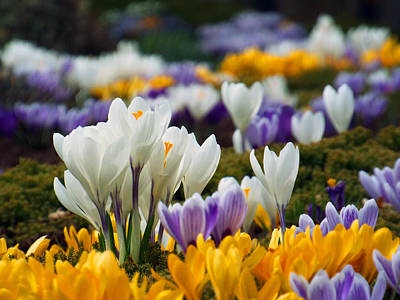 Poster featuring the photograph Spring Crocus by Dianne Cowen