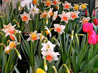 Poster featuring the photograph Spring Daffodils by Ira Shander