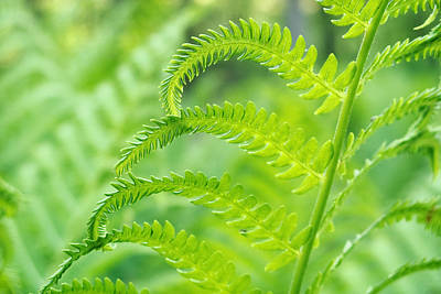 Poster featuring the photograph Spring Fern by Lars Lentz