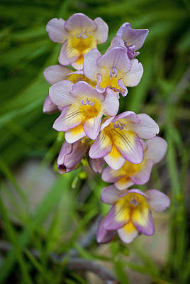 Spring Freesias Poster by Michelle Wrighton