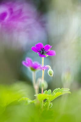 Spring Geranium Poster
