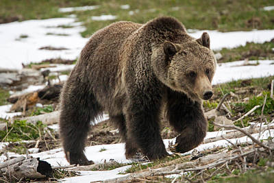 Poster featuring the photograph Spring Grizzly Bear by Jack Bell