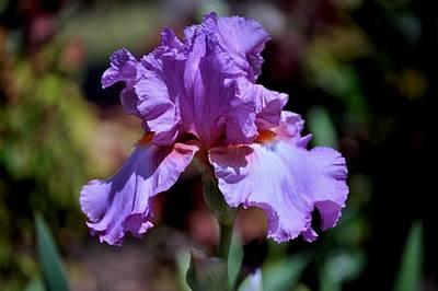 Spring Iris Bloom Poster
