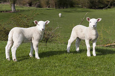Poster featuring the photograph Spring Lambs by David Isaacson
