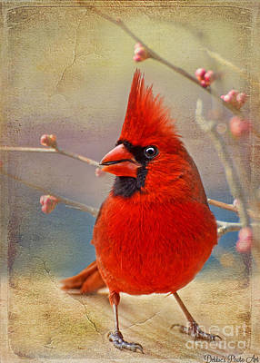 Spring Male Norther Cardinal Poster