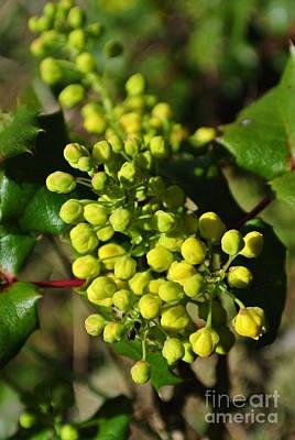 Spring Oregon Grape Poster