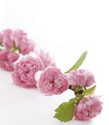 Spring Pink Flowers Poster by Boon Mee