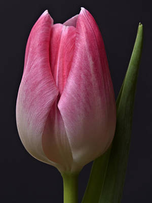 Poster featuring the photograph Orange Pink Red White Black Tulip Flower Art Work Photograph by Artecco Fine Art Photography