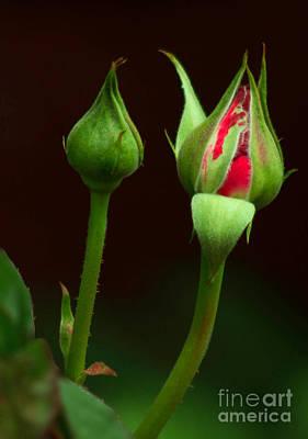 Spring Rose Bud Poster