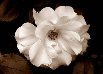 'spring Rose' Poster