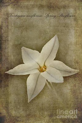 Spring Starflower Poster by John Edwards