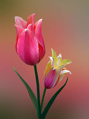 Poster featuring the photograph Spring Tulips by Judy  Johnson