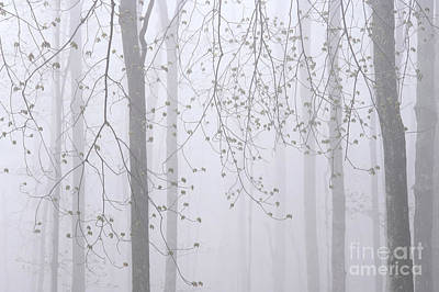 Spring Woodland Fog 2 Poster
