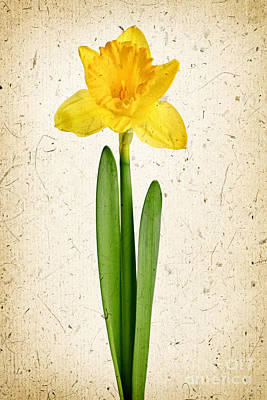 Spring Yellow Daffodil Poster by Elena Elisseeva