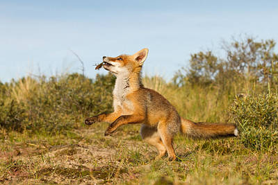 Spring -young Fox Kit Playing With Moss Poster