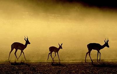 Springbok Herd At Dawn Poster by Tony Camacho