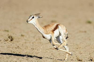 Springbok Lamb Running Poster by Peter Chadwick