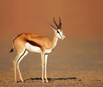Springbok On Sandy Desert Plains Poster