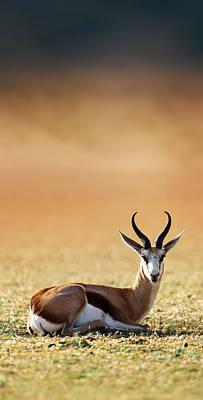 Springbok Resting On Green Desert Grass Poster by Johan Swanepoel