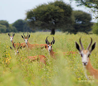 Springbok Stare From Africa Poster by Hermanus A Alberts