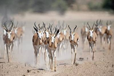 Springbuck Herd Moving To A Waterhole Poster