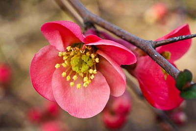 Springtime Quince Poster by Julie Andel