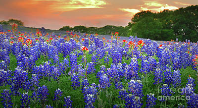 Springtime Sunset In Texas - Texas Bluebonnet Wildflowers Landscape Flowers Paintbrush Poster by Jon Holiday