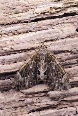 Spruce Carpet Moth Poster by David Aubrey