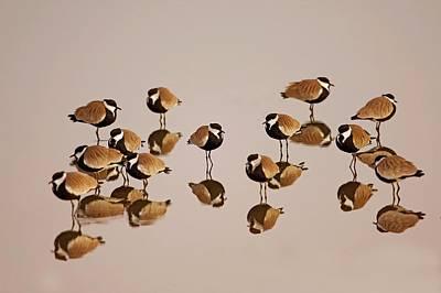 Spur-winged Lapwing (vanellus Spinosus) Poster