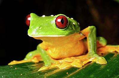 Spurell's Flying Frog (agalychnis Poster by Andres Morya Hinojosa