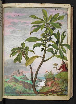 Spurge-laurel (daphne Laureola) Poster by British Library