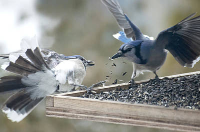 Squabbling Jays Poster by Ross Powell