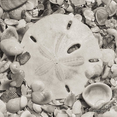 Square Sepia Sand Dollar Poster by Birgit Tyrrell