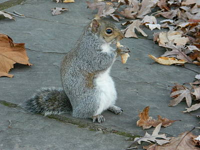 Squirrel Chomping On Bread Poster