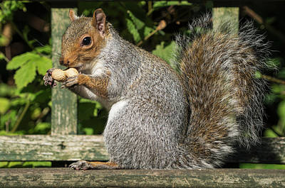 Squirrel Holding A Shelled Peanut Poster