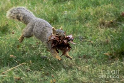 Squirrel Nest Bulding Poster by Robert Bales