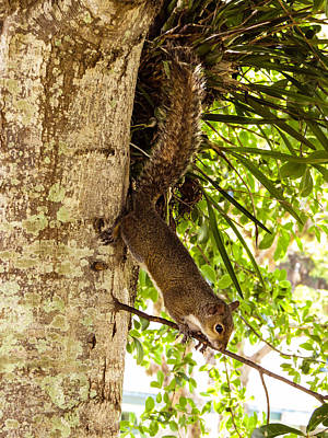 Squirrel On The Twig Poster