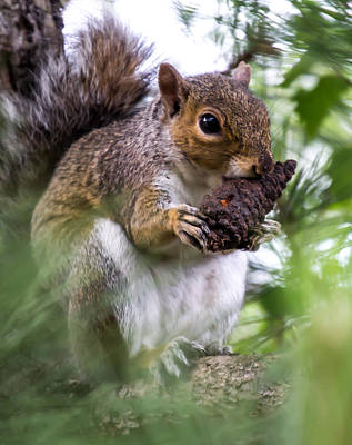 Squirrel With Pine Cone Poster