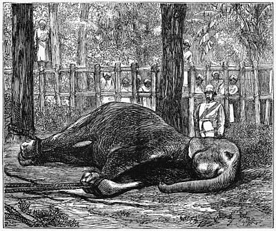Sri Lanka Elephant, 1874 Poster by Granger