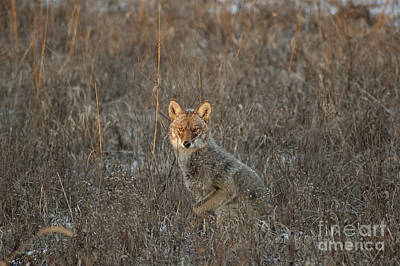 Stalking Coyote Poster by Wilma  Birdwell