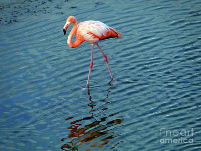 Stalking Flamingo In The Galapagos Poster by Al Bourassa