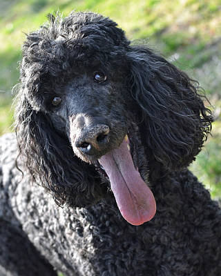 Standard Poodle Poster by Lisa Phillips