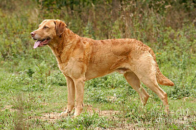 Standing Chesapeake Bay Retriever Dog Poster by Dog Photos