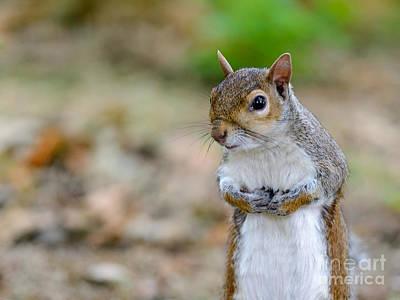 Standing Squirrel Poster by Matt Malloy