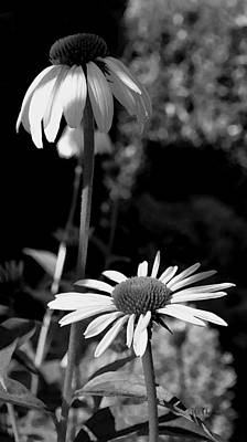 Poster featuring the photograph Coneflowers Standing Tall   by James C Thomas