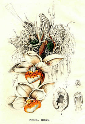 Stanhopea Ecornuta Orchid Poster by Collection Abecasis