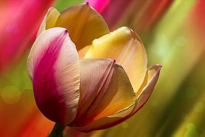 Starburst Tulip Poster by Bill Tiepelman