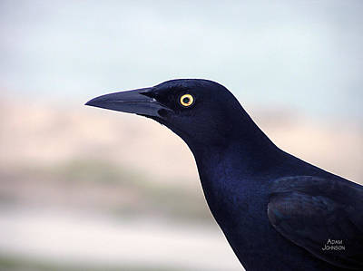 Stare Of The Male Grackle Poster